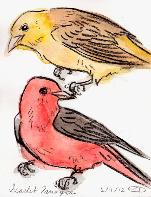Scarlet Tanager These birds are native to dense forests in North America, and migrate to South America during the winter. The males are red with black wings, while the females are yellow with brown wings (they are in the same family as Cardinals). They often have to deal with brood parasitism by Brown-headed Cowbirds, who lay their eggs in other birds nests so that that bird expends resources to raise the Cowbirds young.