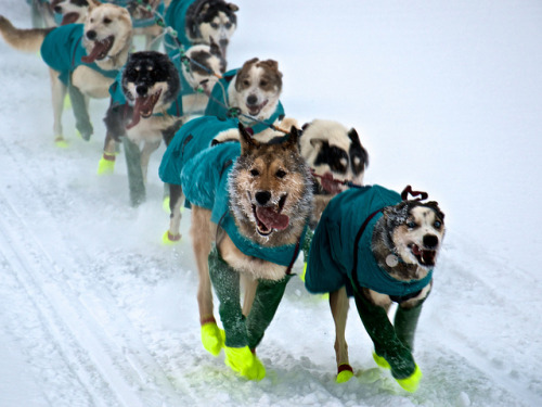 Frosty Dogs on Flickr.Yukon Quest 2012, Fairbanks, AK
