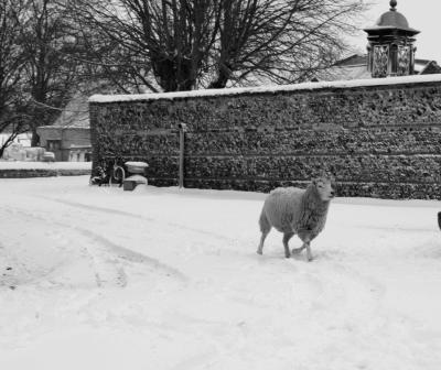 Running sheep in the snow!