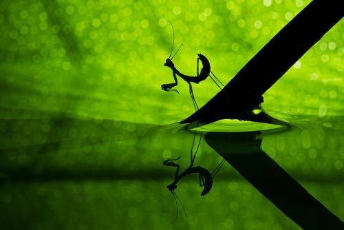 Praying Mantis by Basheer Sheick-Yousif