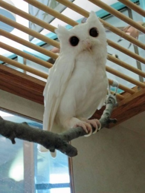 "sherlockmadetea:  thisgingersnapsback:  pillsforthat:  owls-love-tea:  Rare Albino Animals  Holy recessive alleles, batman!  JENSEN do you remember the WHITE ALLIGATOR?! Uncle Tom took us!  The owl looks like it's saying: ""HAIL SATAN""."