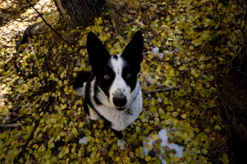 handsomedogs:  a photo taken by my dad of his Karelian Bear Dog, Taii