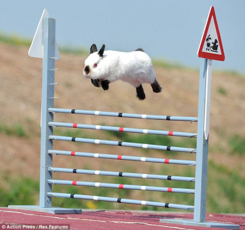 animalgazing:  Leaping bunny! Photographer unknown