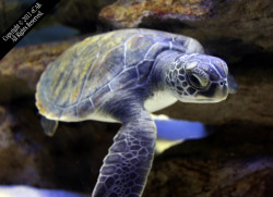 Title: Leonard - Photography by eCAB.  This is Leonard. He is a baby sea turtle or Chelonioidea from South Africa. If you are ever there, I highly recommend the Two Oceans Aquarium in Cape Town, South Africa.  Copyright 2009