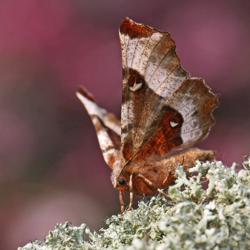 Selenia tetralunaria (Purple Thorn)