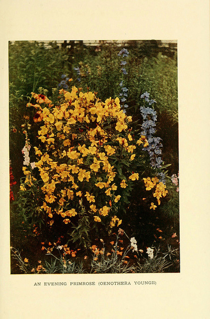 Evening Primrose, Book of Hardy Flowers, 1915