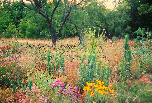 Texas Wildflowers by jillcarmel on Flickr.