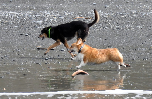 This is me and my friend, Dakota. We love the beach. He may have longer legs, but I keep up just fine.