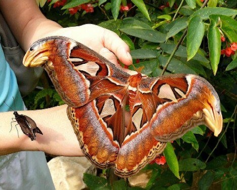 penguindelight:  The world's largest butterfly is the Queen Alexandra's birdwing from Papua New Guinea with a wingspan of 28 cm (11 in).