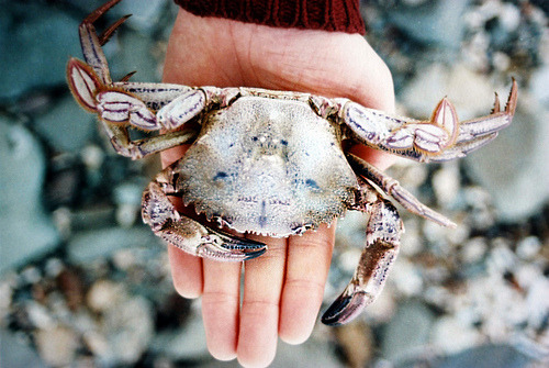 l-i-f-e-g-o-e-s-on:  Quite a Large Crab… (by niall_alexander)