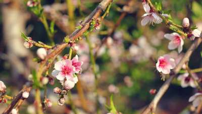 Peach flowers on Flickr.Via Flickr: in our garden