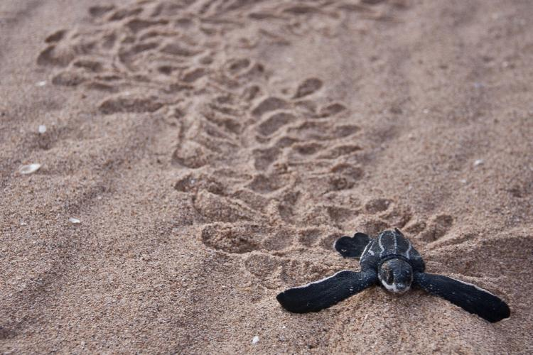 rhamphotheca:  Habitat for Leatherback Sea Turtles   Endangered Pacific leatherback sea turtles now have nearly 42,000 square miles of Pacific Ocean to call their own. Thanks to a decision in January 2012 by the National Marine Fisheries Service, these magnificent reptiles will now be safeguarded off the U.S. West Coast. The new rule establishes critical habitat in areas where leatherbacks feed on jellyfish after swimming 6,000 miles across the ocean from Indonesia. This is the first permanent safe haven for leatherbacks designated in continental U.S. waters and is the largest area set aside to protect sea turtle habitat in the United States or its territories. Learn more about this decision on Oceana's Blog. (photo: ZA Photos)