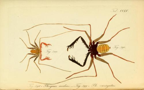 "biomedicalephemera:  Phrynus medius and Phrynus variegatus (now Damon medius and Damon variegatus) Both of these species come back as ""Tanzanian Giant Tailless Whip Scorpion"", so I'm unsure if I'm missing something or if they're subspecies, or what. But they're cool creatures! The larger among them sometimes troll around caves and eat baby bats that have fallen or are not well-defended by their parents. Most of the time they eat other insects, though. They're non-venomous and no threat to humans. Oh, and they scuttle! They walk sideways like an insectoid crab! Die Arachniden. Dr. Carl Wilhelm Hahn, 1831."