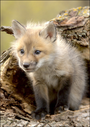 Did you know: The scientific name for a red fox is vulpes vulpes?