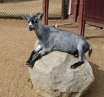 Goat on a rock.  No sheep?