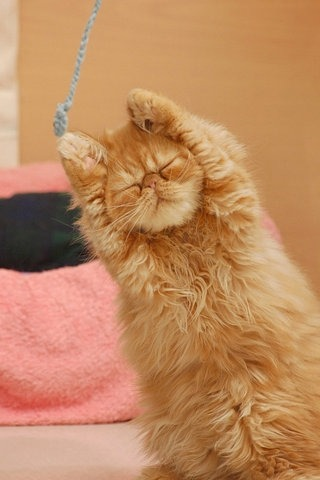 crazypiggyhk:  yoga cat,  too cute.