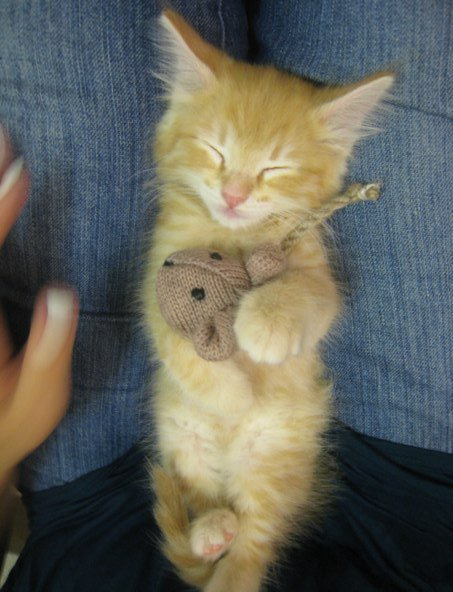 fuckyeahcats:  My sleepy kitten cuddling his favorite toy - Imgur