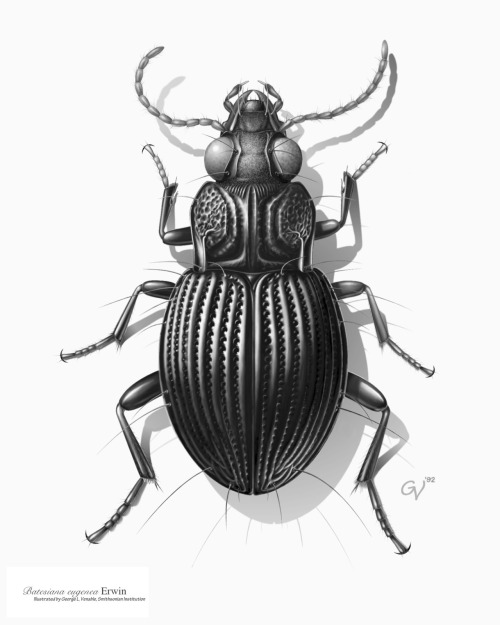 "Drawing of a Carabid beetle from South America, the first illustration Venable created in tone on the computer, in 1992, using Adobe Photoshop version 2. The image was rendered entirely using a mouse, as pressure sensitive graphics tablets had not yet been invented; there were no layers and only one ""undo."" It was created for the research of Dr. Terry L. Erwin of the Department of Entomology. Credit: Image by George Venable http://www.mnh.si.edu/onehundredyears/profiles/George_Venable.html"