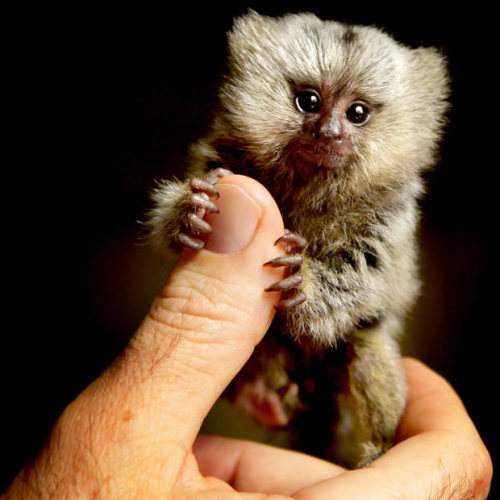 inothernews:  TINY GLANCER   A six-week-old marmoset, abandoned when her mother could no longer  produce enough milk, is seen with a staffer at Western Sydney's Wild Animal Encounters in Australia.  Moments after this photo was taken, the marmoset ate that dude's finger.  (Photo: Newspix via the Telegraph)  Just when I'm doing a good job not doing much reblogging, this comes up on my Dashboard. HOW CAN I NOT REBLOG THIS ADORABLE THING? ALSO: last line of caption. Perfect.