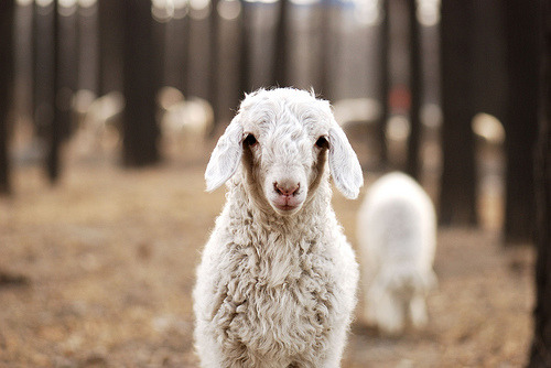 fuckyeahbokeh:  grayskymorning: beby sheep (by luzhouzjy)