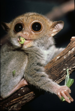 addicted-to-dopamine:  thegentlewind:  The tarsier - a shy, wide-eyed nocturnal species from the Philippines - is the first primate to be identified as having the ability to communicate in purely ultrasonic frequencies. A new study published in Biology Letters today has revealed that the endangered Philippine tarsier (Tarsius syrichta) communicates using sound with a frequency greater than 20 kilohertz. The finding contradicts conventional thinking that all primate vocaliations are audible to humans. Read story here. Image credit: David Haring  me on drugs