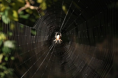 "What Spider Webs are Teaching Engineers Spider web silk is so ""smart,"" engineers are studying its properties for applications that range from virtual networks…to combat gear… http://www.wired.com/wiredscience/2012/02/spider-web-strength/"