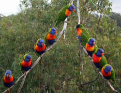 fairy-wren:  rainbow lorikeets (photo by robbiesydney)