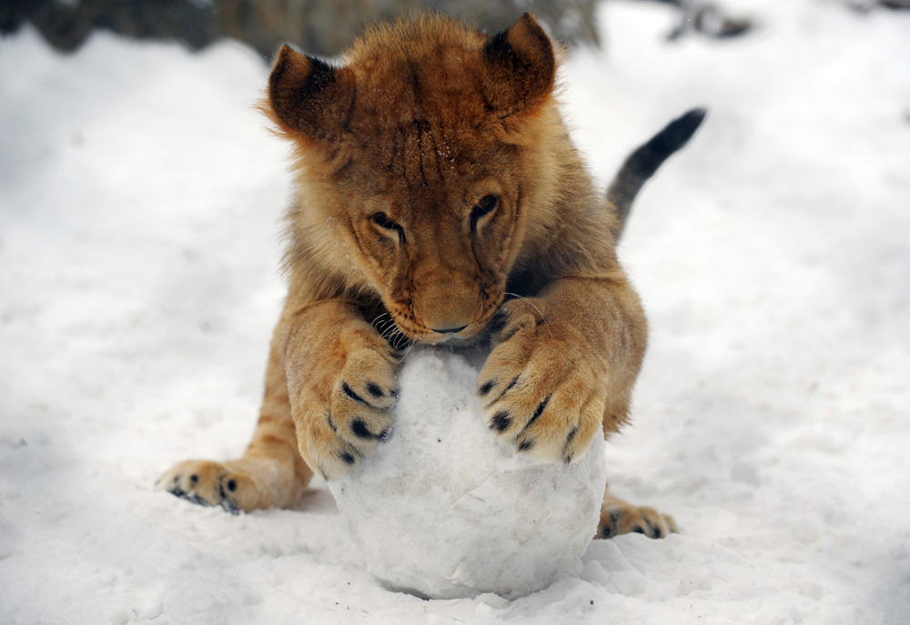 Today's Dose of CuteA lion cub plays with a snowball at the Belgrade Zoo on Feb. 5, 2012. (Alexa Stankovic//AFP/Getty Images)