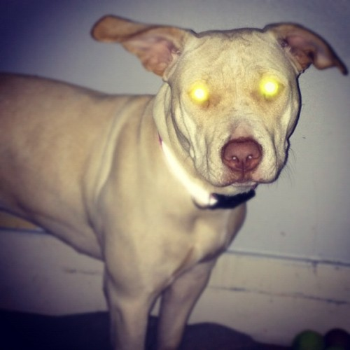 LoL #dog #pitbull #labrador #eye #scary (Taken with instagram)