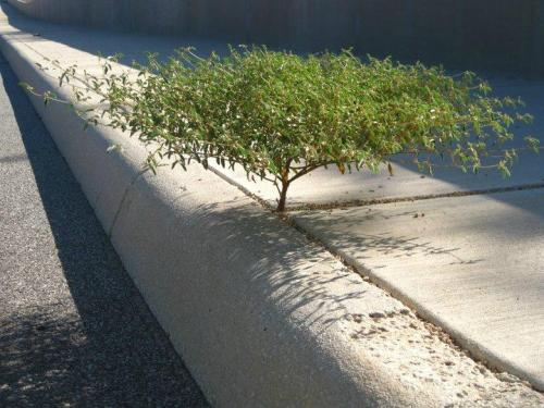 stillawakeatfour:  Nature always finds a way…