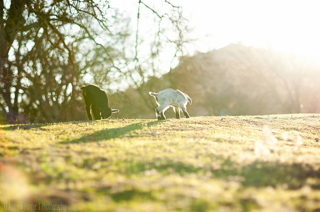 Baby Goats on Flickr.Nikon D90 50mm ƒ/1.4G Natural Light