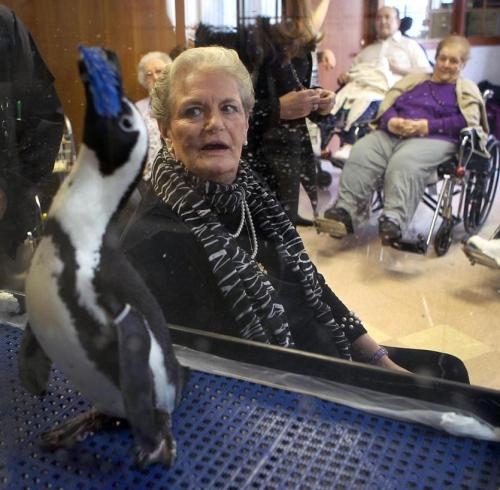 "Roast Beef, an African penguin at the New England Aquarium, made a special visit today to a Haverhill nursing home. ""They seemed to be thrilled and even after, as we were wrapping  things up, they were calling us over to ask us questions,"" said penguin  exhibit manager Heather Urquhart. The visit to the Hannah Duston Health Care Rehabilitation Center was  prompted after a resident, Sandra Ramsey-Sterling, painted a mural of  five penguins on a snowy background. She said she made the painting for the 9-year-old daughter of one of  the nurses. But after three weeks of work, the painting turned out  better than she expected, said Ramsey-Sterling, who said she had been  painting for 30 or 40 years. So with the help of some of the nurses, she made poster copies of the  painting and donated them to the aquarium, hoping they could be sold in  the gift shop. Though the aquarium was unable to use them, they sent an  ambassador — Roast Beef — to thank her personally. (Boston.com)"