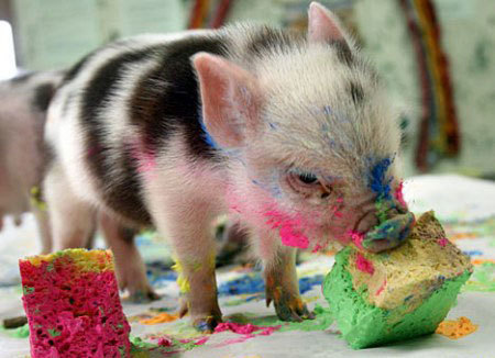 gnomegore:  (via imgTumble) i wanna piggie!!!!!!!!!!!!