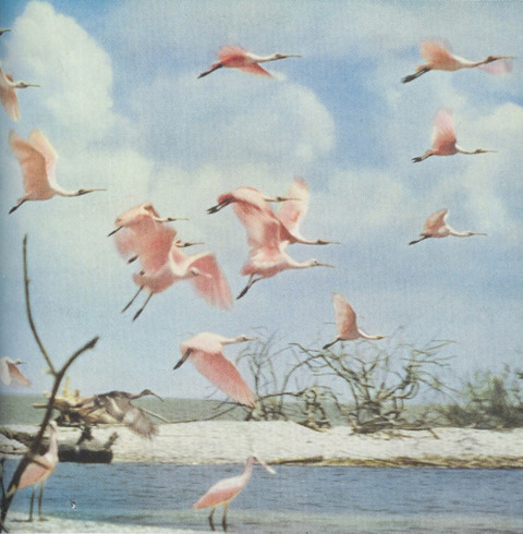 rosenadinehelena:  National Geographic, 1954Spoonbills in Florida