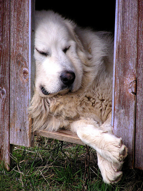 magicalnaturetour:  resting dog by archflorence on Flickr. :)