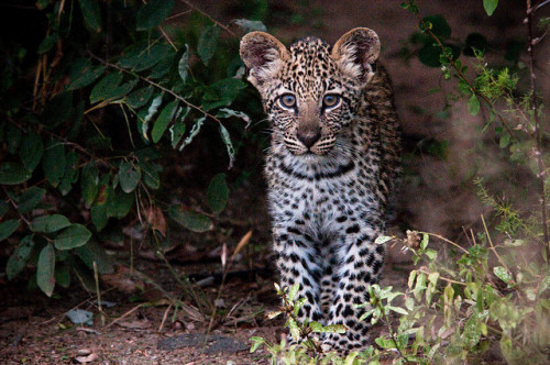 Leopard cub checking us out, Mpumalanga, South Africa. Leopardozinho a observar-nos, província de Mpumalanga, África do Sul. Photo copyright: Chris Eason aka Mister-E