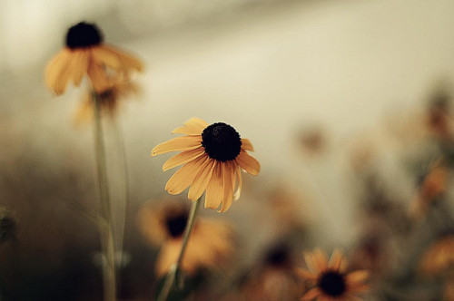 dancing-sashimi:  black eyed susan by diyosa on Flickr.