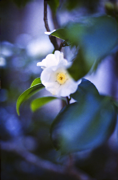 camellia white by yocca on Flickr.
