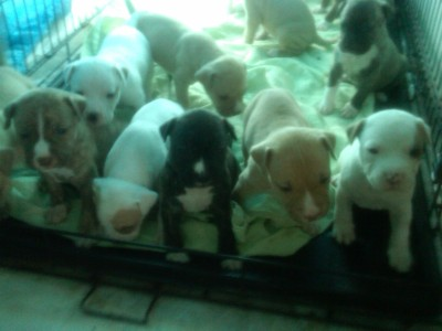 blurred-speech:  In the meantime, here is a picture of my coworkers litter of pitbull puppies.