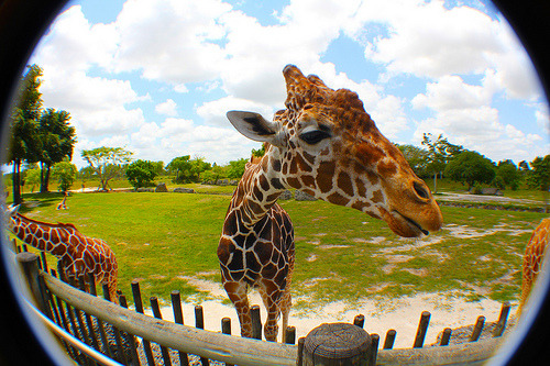 cu-pcakes:  why are giraffes so cutee!!!?