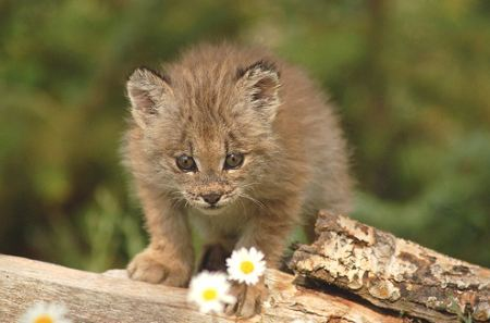 Did you know: The lynx's paws act as a snowshoe by distributing their weight to help keep them on top of the snow?