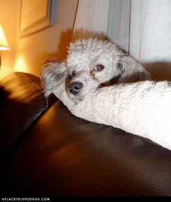 Submitted by Kevin H: My toy poodle Teddy, a rescue with the sweetest disposition Original Article