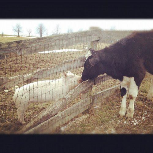 My incredible friend Amanda Fortino snapped this shot today at Farm Sanctuary, and I couldn't help but share. This pig and cow were bred to end up on someone's plate or body, but fortunately were rescued by the heroic Farm Sanctuary team. Billions of others just like them are massacred annually to satisfy human greed and selfishness. These magnificent animals express tenderness and curiosity just like our beloved cats & dogs. They are intelligent, social, and just as capable of fear, loneliness, and misery as any other being. Choose compassion over convenience. Choose honor over horror. Choose integrity over insensitivity. Choose progress over pain. Choose truth over tradition. Choose action over ambivalence. Choose vegan.