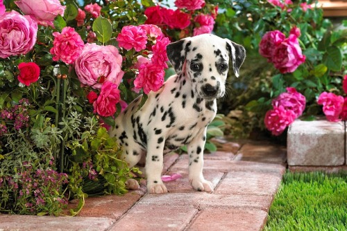 Dalmation,Todays Cuteness :)  by Erika Eke @ Picasa CC. For the Dog Lovers :)