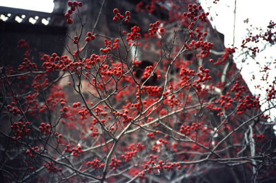 Winter Berries (shot with my Olympus XA & Fuji Pro 400H)