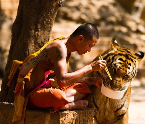 "climateadaptation:  ""Monk and tiger sharing a meal."" - ©2012 Wojtek Kalka"