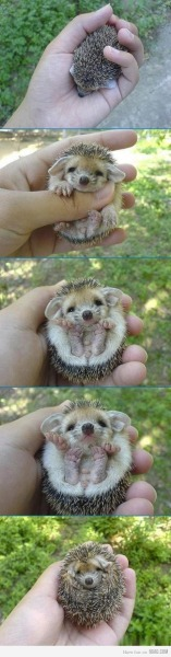 9gag:  Hedgehogs: you just can't help but love 'em