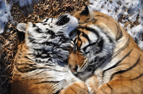 tigersandcompany:  Tiger snuggles (by ~kerodragons)
