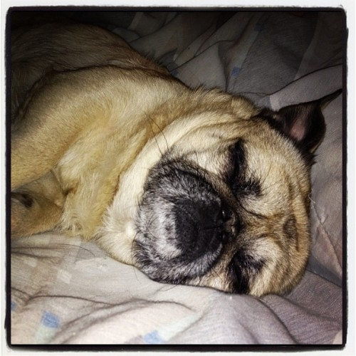My sleepy little man #pug #pugsofinstagram #puggy (Taken with instagram)