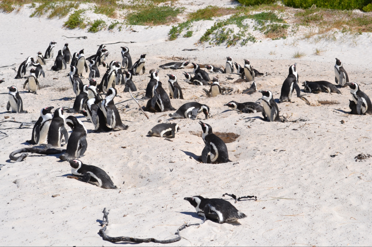 Boulders Penguins: We had definitely entered into the tourist traps the last couple of days. But while Robben Island was worth it for the tour guides, Boulders Beach was a little more intense. The strange collection of penguins, near Simon's Town down the Cape Peninsula, were so much of a draw that the beach warranted its own entrance fee and information centre, boardwalks around the beach and the customary curio stalls outside. There were certainly a lot of tourists (probably more than penguins) crowding round the colony with their cameras out. (Why do Chinese people contort their shoulders to take pictures of themselves when they're in a large group of people who could take it for them?). Then again, penguins are always good value to watch as they waddle in and out of the sea, nestle up to each other and act weird. Sophie had lots of fun bending and curling round the barrier to take pictures. We then moved on to a quiet beach round the corner for a swim in the never-gets-any-warmer ocean, but not before I had a little nap.